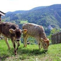kühe - mucche
