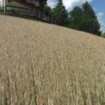 weizen - grano