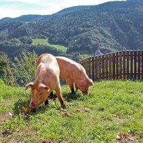 schweine - suini