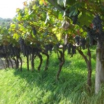 trauben - uva